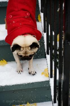 #pugstyle #pugfanatic: Winter Pug, 103 Pugs, Pugs Wearing, Pet, Pugs Dogs, Jackets, Puggie, Animal