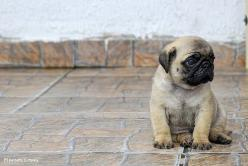 pugsy, any puppy really, entranced by the adorableness: Babies, Animals, Dogs, Pug Puppies, Sweet, Pug Life, Pugs Pugs, Baby Pugs