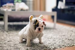 pup in costume: Animals, Bulldogs, Pets, Costume, Puppy, Things, Baby