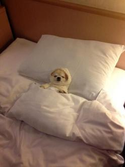 Puppy...sleepy...: Animals, Dogs, Bed, Pet, Funny, Puppy, Adorable, Things, Chihuahua