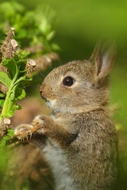 Rabbit kitten standing up to feed on fresh plant leaves.: Animals, Sweet, Bunbun, Simon Roy, Baby Bunnies, Photo