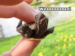 Rebecca...If you're having a bad day and need a little cheering up, here's a picture of a happy turtle.: Animals, Stuff, So Cute, Funny Animal, Things, Smile, Baby Turtles