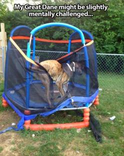 Remember that time when @Everett Goto got stuck in that chair..... :) @Taralynn @marissa satsuma: Funny Animals, Great Danes, Giggle, Dogs, Funny Stuff, Funnies, Trampoline