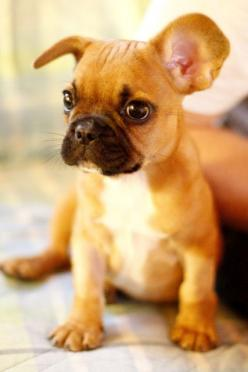 Reposting for my friends... They just got a new pup and this looks like theirs. :): Baby French Bulldog, Cute Puppy, French Bulldogs, Frenchbulldog, Animal