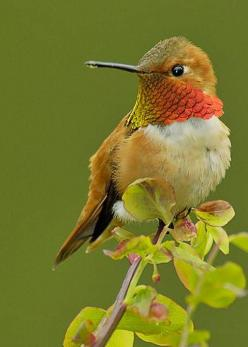 Rufous Hummingbird - photo by Tom and Pat Leeson: Toms, Butterflies N Hummingbirds, Hummingbird, Beautiful Hummingbirds, Awe Hummingbirds, Card, Beautiful Birds