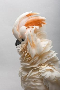 { salmon-crested cockatoo }: Animals, Inspiration, Nature, Color, Beautiful Birds