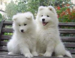Samoyed puppies: Picture, Animals, Samoyed Puppies, Dogs, Google Search, Pets, Puppys, Adorable