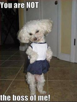 She's got personality !!!!: Funny Animals, Poodle, Funny Dogs, Pet, Boss, Funny Stuff, Funnies