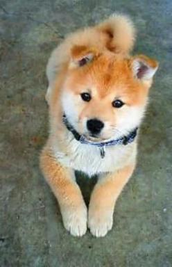 Shiba Inu SERIOUSLY have been wondering what type of dog this was for like 2 years. I want one.: Types Of Dogs, Shiba Inu I, Pet, Shiba Inus, Baby, Friend, Animal, Shibainu