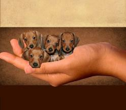 small beauties........: Babies, Http Baby Dogs 15 Blogspot Com, Photoshop Daschunden, Baby Doxies, Baby Wieners, Sweet Baby, Baby Dachshunds, Puppy, Animal