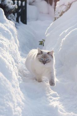 ^Snow kitty: Ragdoll Cat, Cats, Beautiful Cat, Winter, Snow Cat, Kitty Kitty, Chat, Animal, White Cat