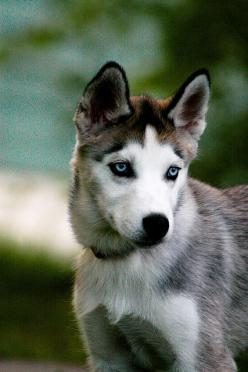 So beautiful.: Animals, Husky Pup, Dogs, Siberian Husky, Beautiful Eyes, Siberian Huskies, Blue Eyes