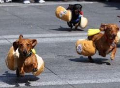 So Finn would totally win if he were entered, and I all ready have his hot dog costume... Perfect!: Animals, Hotdogs, Dachshund, Doxie, Funny, Weiner Dogs, Wiener Dogs, Hot Dogs
