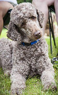 Standard Poodle Rescue and Rehome | Standardpoodlesinneed: French Poodle, Poodle Dogs, Dog Standard Poodle, Dem Poodles, Poodle Cuts, Cant Catch
