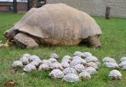 Sulcata Tortoise Mama and Babies ♥ The Linton Zoo is unsure which of four males is the father.: Baby Tortoise, Babies, Animals, Funny, Turtles, Tortoises