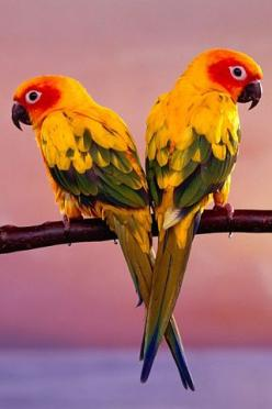 sun conure parrots - Just like my little guy: Exotic Birds, Affectionate Pets, Guy, Heart Shape, Birds Parrots, Pet Birds, Beautiful Birds, Conure Parrot