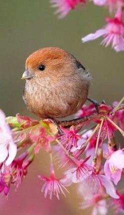 Sweet little chickadee on a cherry blossom branch.... Love it.: Sweet, Little Birds, Birdie, Beautiful Birds, Spring Blossoms, Flower, Animal, Vinous Throated Parrotbill