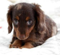Sweetie..longhair choc dapple doxie: Dogs, Adorable Animals, Dachshund, Pet, Doxie, Puppy, Baby, Eyes