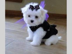 Teacup Maltese soooooon i will have a grl pup just lyke this her name will b Cali =): Maltese Puppies, Maltese Dogs, Maltese Puppy, Teacup Maltese, Teacup Puppies, Pet, Puppys, Animal, Furry Friends