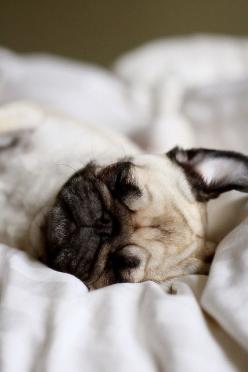 teeny tiny sleepy pug face - so freakin cute.    i <3 when Mitzi's ears do that when she sleeps :D: Animals, Dogs, Pug Life, Sleepy Pug, Pets, Pugs, Puppy, Sleeping Pug