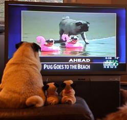 The 50 Cutest Things That Ever Happened: Animals, Pug Life, Big Pugs, Watch, Local News, Funny, The Beach, Dog, Photo