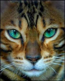 The Bengal cat dates only from the early 1960s, when a breeder crossed a domestic feline with an Asian leopard cat. The breed is named for this wild Asian cat, whose scientific name is Prionailurus bengalensis.: Bengal Cats, Bluew Eyes, Beautiful Painting