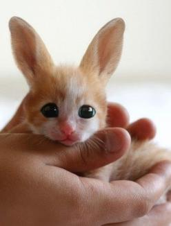 The birth of one of the world's rarest creatures was celebrated this week at North Korea's Pyongyang People's Zoo. The Fennec Hare is on the brink of extinction with only a handful remaining in captivity. Movingly adorable. #Cute #Rare #Animal