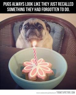 "The cake says ""party,"" but the eyes say ""hostage situation."": Birthday, Face, Animals, Dogs, Pug Life, Funny Stuff, Funnies, Pugs"