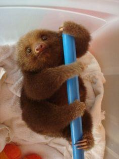 The Cutest Sloth I've Seen So Far