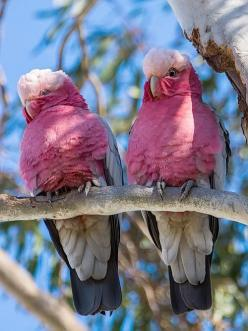 The Galah - Eolphus roseicapillus, is one of the most abundant and familiar of the Australian parrots, occurring over most of Australia, including some offshore islands. The Galah is found in large flocks in a variety of timbered habitats, usually near wa