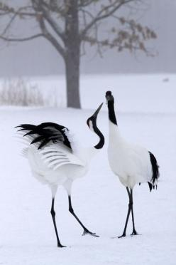 The Gifts Of Life: Winter, Black And White, Japanese Cranes, Red Crowned Crane, Beautiful Birds, Beautiful Creatures, Animal