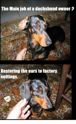 The Main Job of Dachshund Owners! My dog is part Dachshund but I never have to fix his ears; I guess that makes him Doxie 2.0: Dogs, Dachshund Owner, Doxie, Funny, So True, Factory Settings, Main Job, Animal
