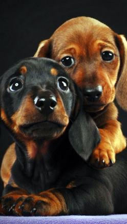 The one on the bottom looks exactly like mine, Chica, when she was a baby! <3: Dachshund Dogs, Doxies Dogs, Dachshund Puppies, Baby Doxies, Puppy Dog Eyes, Doxies Puppies, Stopuppymills Doxies, Weiner Dogs, Baby Dachshund