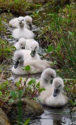 The swan is a recurring symbol in early Irish myth.: Animals, Sweet, Duckling, Beautiful, Creatures, Ducks, Birds