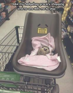The Tough Hedgehog Life: Animals, Grocery Store, Hedgehog Grocery, Funny, Hedgie, Adorable, Baby, Hedgehogs