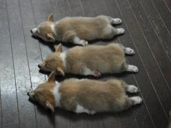 The Triple Crown of Corgi Cuteness: three Pembroke Welsh Corgi puppies napping.: Corgis, Animals, Dogs, Corgi Puppies, Pets, Puppys, Adorable, Sleeping Corgi