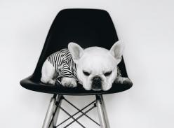 Theo, the French Bulldog in a pipolli stripe tee.: French Bulldogs, Fancy Frenchies, Sweet Frenchies, Fabulous Frenchies, 750 553 Pixels, Honorary Frenchies, Frenchie Faunatjes, Frenchies Forever