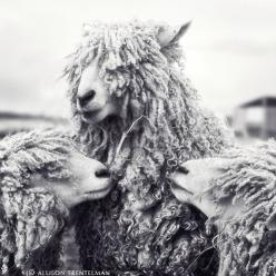 there's just something i looove about this photo.: Backup Singers, Animals, White Photography, Animal Photography, Black And White, Art Prints, Sheep Art