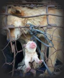 This baby was born in China in one of the livestock lorries heading to the slaughter house where Dogs are destined for human consumption. STOP this and sign all the petitions to close all the dog meat industries worldwide.. Pls. make sure to sign all the
