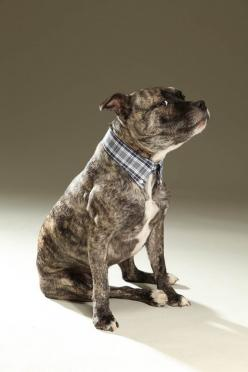 This dog is beautiful!! Similar markings to our Tux, who would look adorable in one of these!!!! : Dog Collars, Dogs I Ve, Pit Bull, Pibble, Baby Dogs, Animals Pitbulls, Cute Dogs, Pittie
