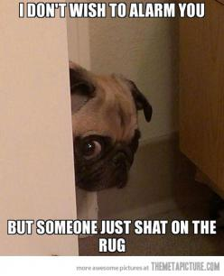 This happens like every other week at my house >:( Looks just like my little culprit too!!! This is why I can't have carpet LOL.: Funny Dogs, Peeking Pug, Pug Life, Dear Hahahahaha, Bad News, Pugs, Animal