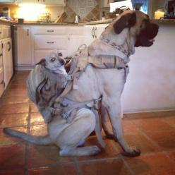 This is another reason why big dogs are awesome!: Cats, Doggie, Backpacks, Animals, Pets, Funny Animal, Photo, Friend, Big Dogs