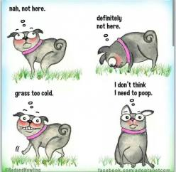This is definitely my bella pug...We do.not.distract. Her when trying to get her to go lol: Animals, Dogs, Stuff, Funny, So True, Funnies, Poop, Pugs, Things