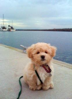 This is just ridiculously cute -- Goldendoodle puppy that looks like a freakin' stuffed animal. Want to boop on the nose: Animals, Dogs, Puppys, Future Pet, Box, Goldendoodle