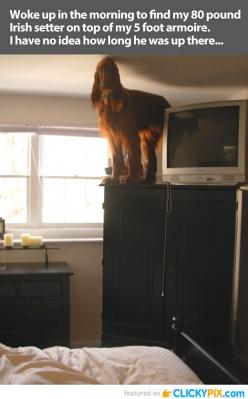 This is really what life with an Irish Setter is all about: Animals, Cat, Giggle, Dogs, Funny Pictures, Irish Set, Funnies