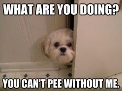 This is so my dog!!  I haven't peed alone since 1993!: Cat, Animals, Dogs, Pet, Funny, Shihtzu, So True, Puppy, Shih Tzu