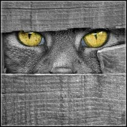 ✮ This looks like it could be my Eclipse peeking in on me from Summerland.  RIP lil Kitteh Katz.  I miss you! <3: Cats, Grey Cat, Animals, Cat Eyes, Color, Kitty Kitty, Gray, Photo, Peek A Boo