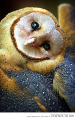 This owl is adorable: Animals, Nature, Beautiful, Creatures, Barnowl, Birds, Barn Owls