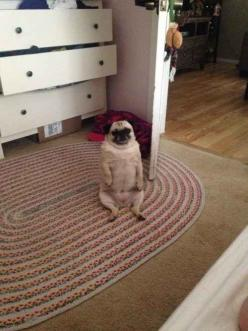 This pug who successfully turned into a little gentleman.: Animals, Little Gentleman, Pug Life, Pug Puppi, Majestic Pug, Dr. Who, Pugs Pugs