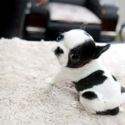 "This teacup French Bulldog puppy demonstrates the basic pose. Posted by <a href=""http://cute-baby-animals.tumblr.com/post/79557795838"">cute-baby-animals</a> on Tumblr.: Animals, Dogs, Pet, Puppys, Puppy, Boston Terriers, Baby"